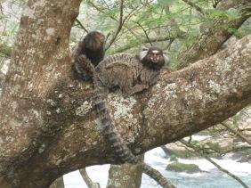 Capuchins in Rio