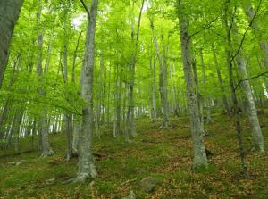 Bulgaria - beech forest with little regeneration