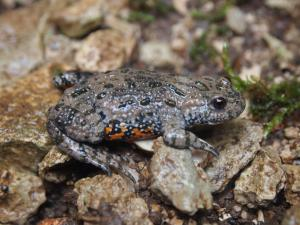Bulgaria - fire bellied toad