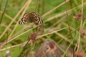 Speckled wood on water avens