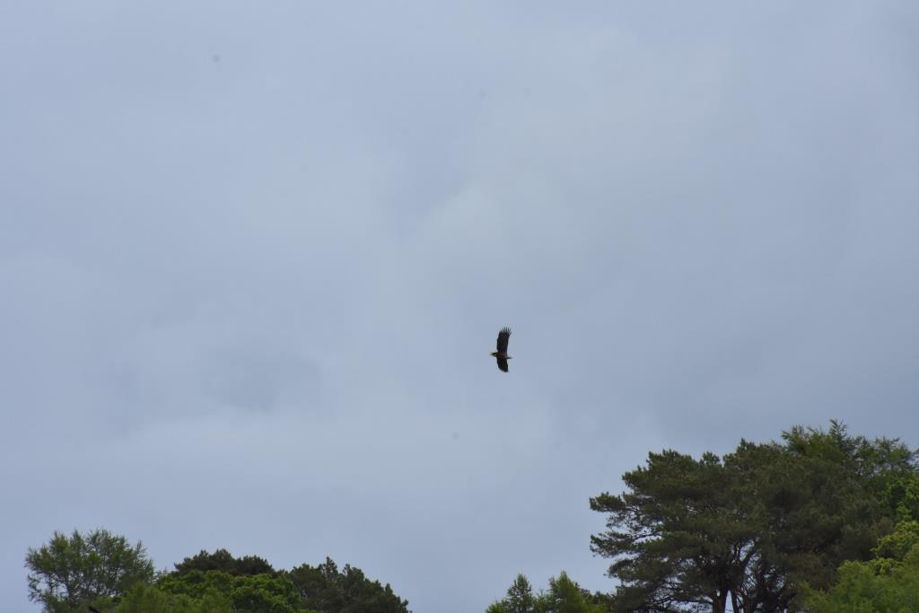 White Tailed Sea Eagle, Craignure compressed
